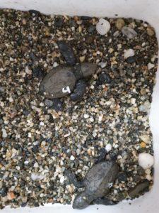 tortugas calnegre