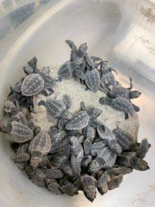 tortugas la manga